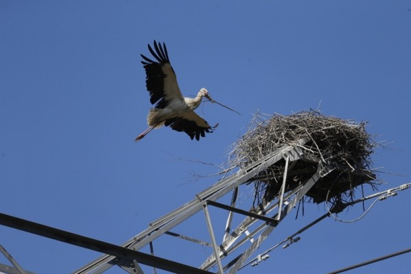 Is There Hope for China's Oriental White Stork__2