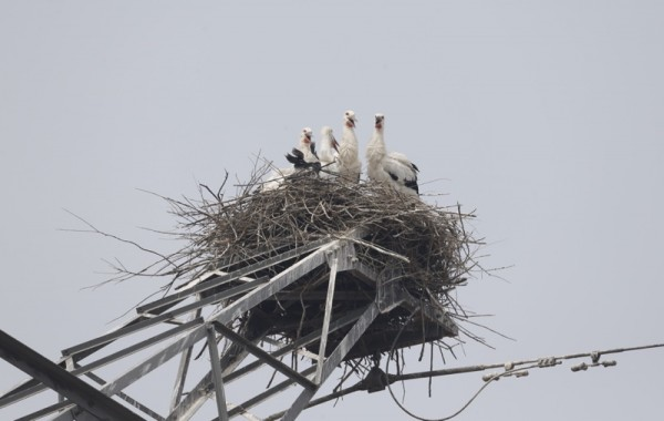 Is There Hope for China's Oriental White Stork__3