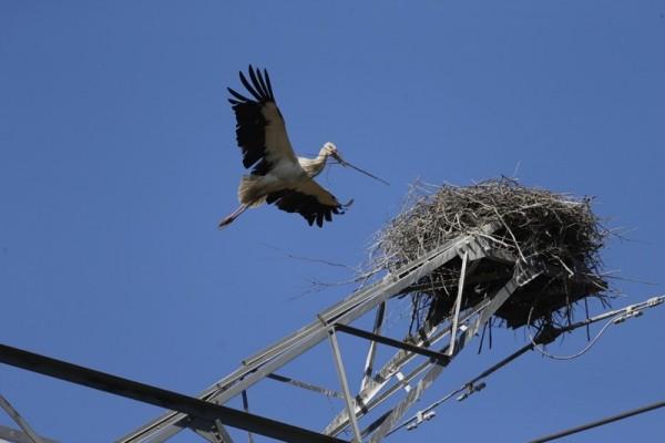 The Saga of Two Oriental White Stork Chicks_1