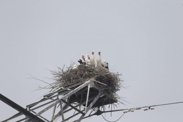 The Saga of Two Oriental White Stork Chicks_2