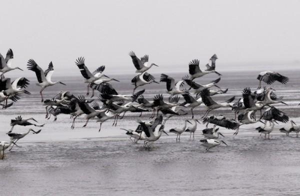 The Saga of Two Oriental White Stork Chicks_3